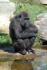 Gorilla Thinking @Jenny Rollo