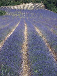Lavender to calm