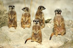 meercats having a team day
